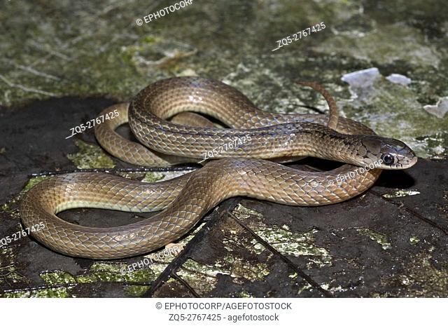 Lesser Striped-neck Snake Liopeltis calamaria, Satara, Maharashtra, India