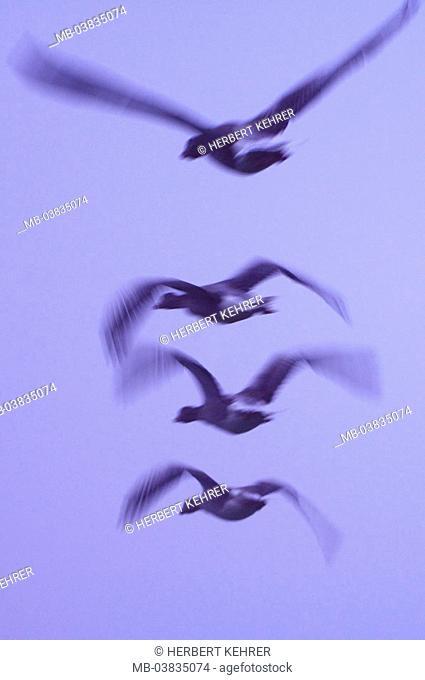 Gray geese, Anser anser, flight,  Fuzziness,   Animals, birds, flies flap goose birds, migratory birds, duck birds, geese, movement