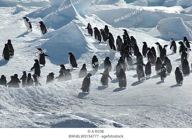 adelie penguin Pygoscelis adeliae, group of about thirty Antarctic adelie penguins, Antarctica