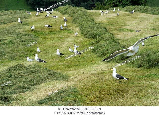 Lesser Black-backed Gull (Larus fuscus) and Black-headed Gull (Chroicocephalus ridibundus) mixed flock, feeding on mown meadow
