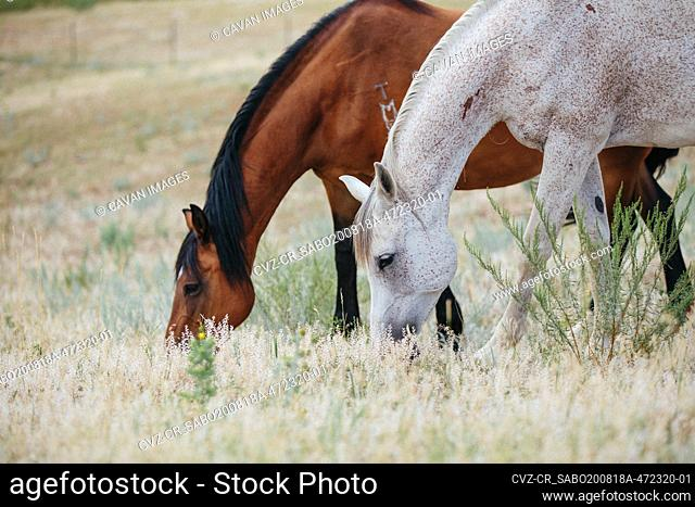 Two horses eating together in field