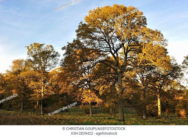 oak tree grove after selection cutting in the Forest of Rambouillet, Haute Vallee de Chevreuse Regional Natural Park, Yvelines department, Ile-de-France region