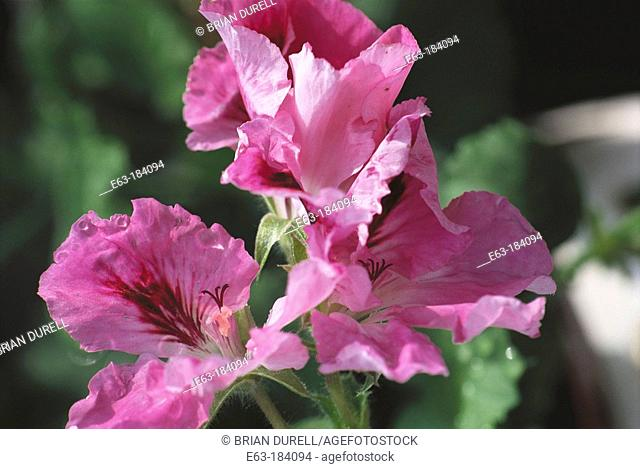 Regal Geranium (Pelargonium domesticum). Canada