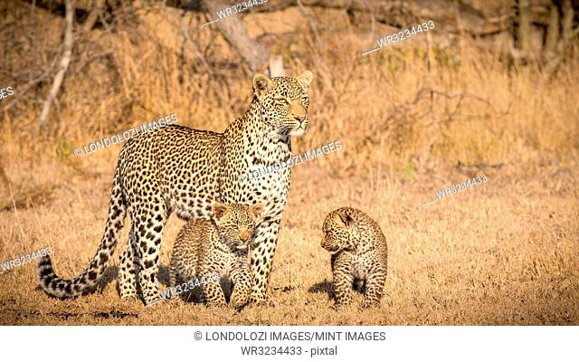 A mother leopard, Panthera pardus, stands in the sun in an open grassland, looks away, her two cubs stand beneath her