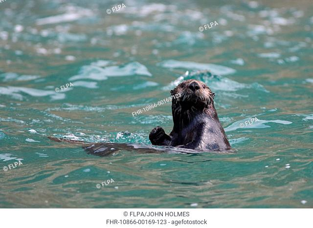 Sea Otter Enhydra lutris adult, at surface of water, Kuril Islands, Sea of Okhotsk, Sakhalin Oblast, Russian Far East, Russia, june