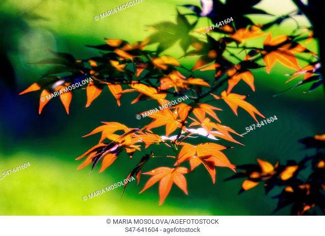 Spring Leaves on Japanese Maple (Acer palmatum). May 2005. Maryland, USA