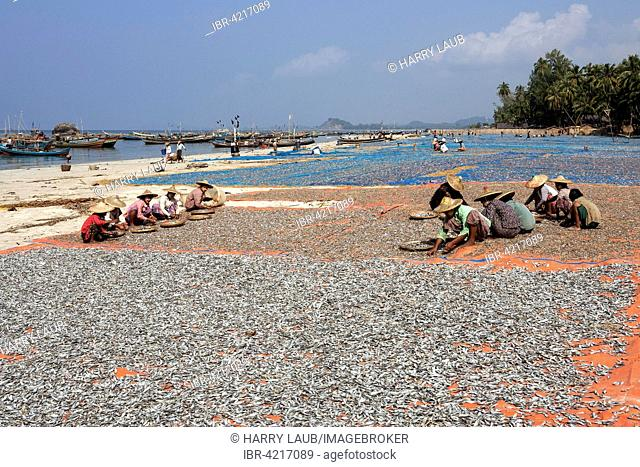 Local women wearing straw hat, sorting fish into bamboo bowls, fish drying in the sun, fishing boats behind, on the beach of the fishing village Ngapali