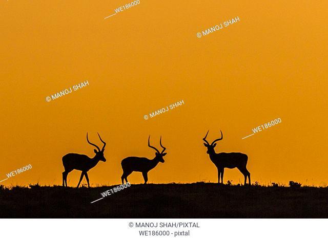 Male Impalas forming a colorful silouhette at dawn. Masai Mara National Reserve, Kenya