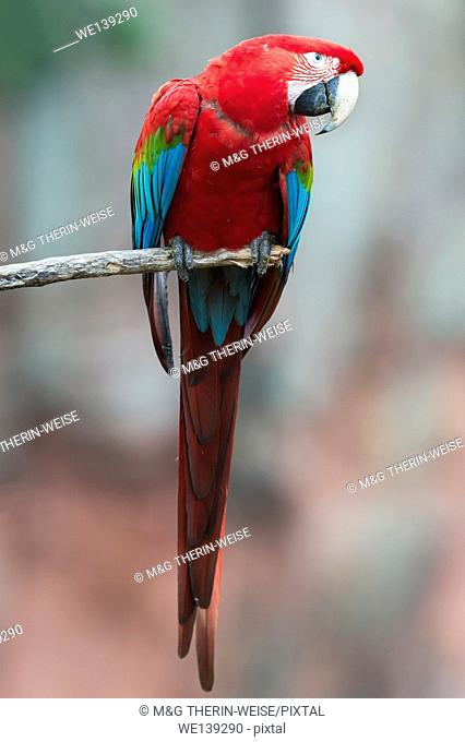Red-and-green Macaw (Ara chloropterus), Buraco das Araras, Mato Grosso do Sul, Brazil
