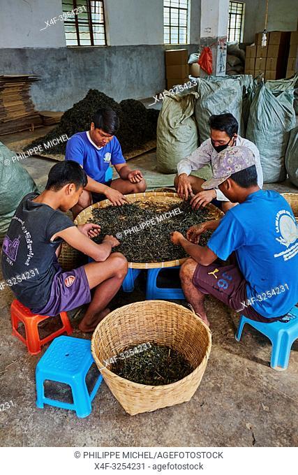 China, Yunnan, Xishuangbanna district, classify and drying tea of Pu'er tea