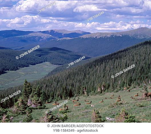 ROCKY MOUNTAIN ELK Cervus canadensis nelsonii herd in meadow, headwaters of the Colorado River lie below left of middle, Rocky Mountain National Park, Colorado