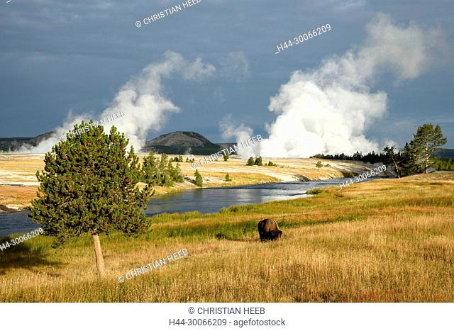 North America, American, USA, Rocky Mountains, West, Yellowstone National Park, UNESCO, World Heritage, Bison at Firehole river