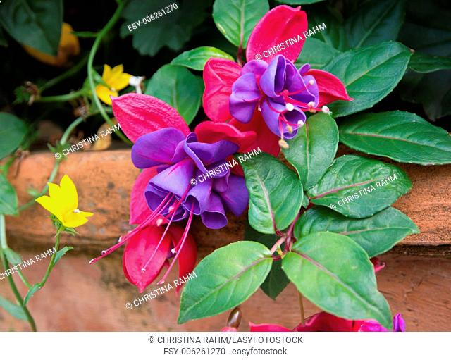 Fuchsia closeup in terracotta pot with yellow clinging flower in a garden, September, Stockholm, Sweden