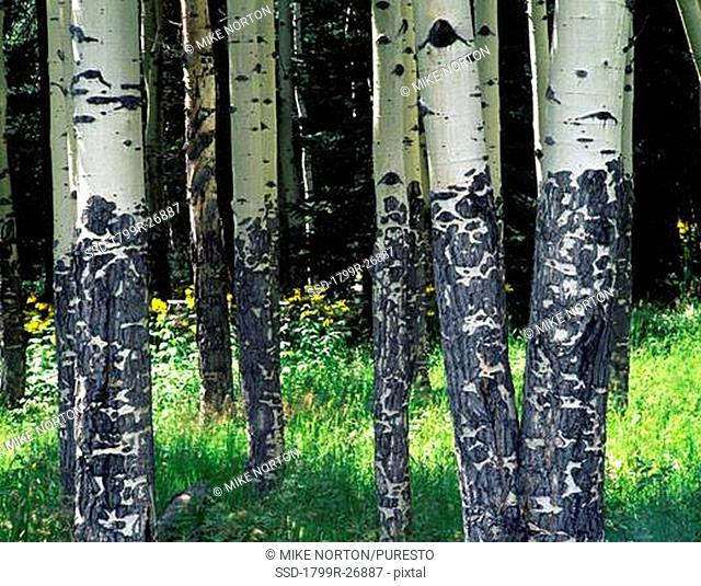 Aspen trees in a forest, Rocky Mountain National Park, Colorado, USA