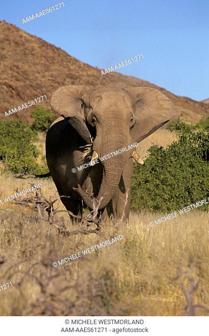 Rare Desert Elephant, Skeleton Coast, Namibia (Loxodonta africana)