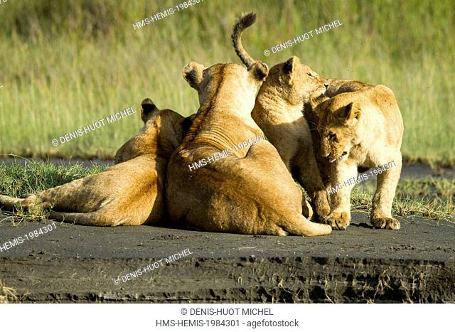 Tanzanie, Ngorongoro national park, lion (Panthera leo), a female and her big cubs