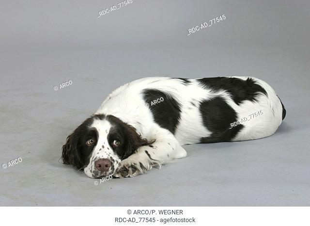 English Springer Spaniel puppy 6 month