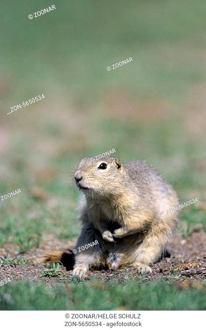 Richardsons Ground Squirrel grooming-(Flickertail)