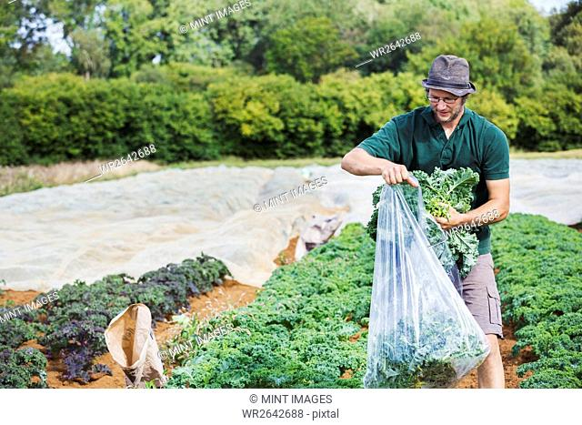 A man filling a large plastic bag with fresh curly kale leaves