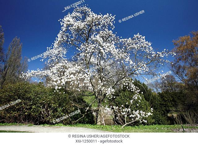 Magnolia tree Magnolia sp  flowering in park with white blossom, springtime, Germany