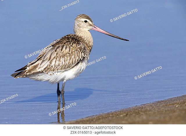 Bar-tailed Godwit (Limosa lapponica), standing in the water, Liwa, Al Batinah, Oman