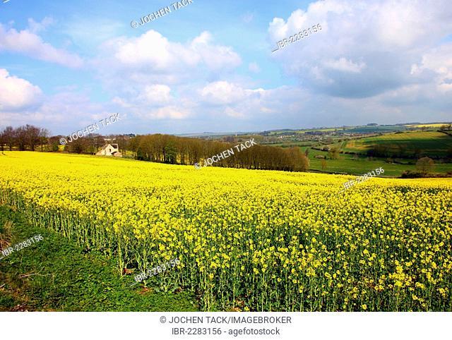 Blooming rape field near Witney, Oxfordshire, United Kingdom, Europe