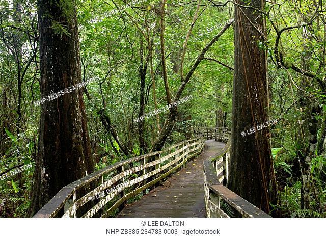 BOARDWALK through old growth Bald Cypress forest (Taxodium distichum), Corkscrew Swamp Audubon Sanctuary, nr. Naples, Florida, USA