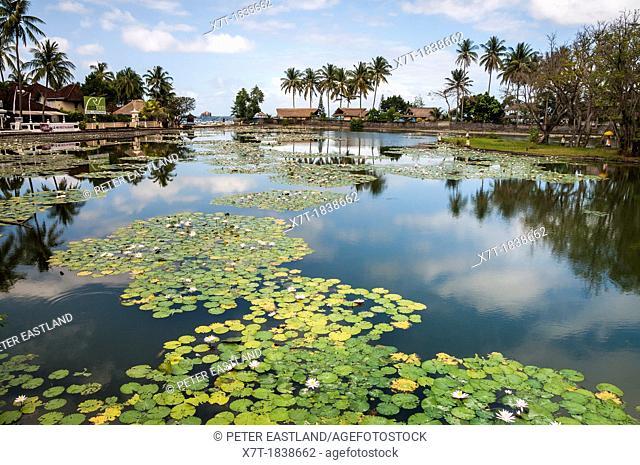 Lotus water lilies growing in the lagoon at Candi Dasa, Eastern Bali, Indonesia