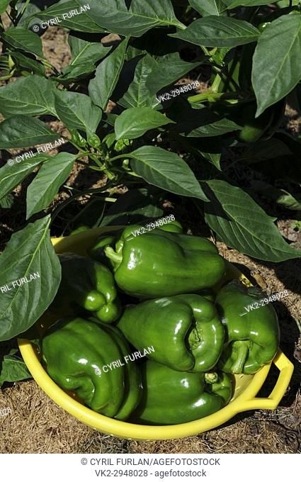 Organically grown green peppers