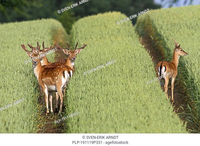 Fallow Deer, Cervus dama, stags in grain field, Schleswig-Holstein, Germany