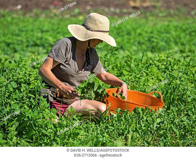 Small-scale farmer on an artisanal organic farm harvests summer greens in Johnston, Rhode Island, USA