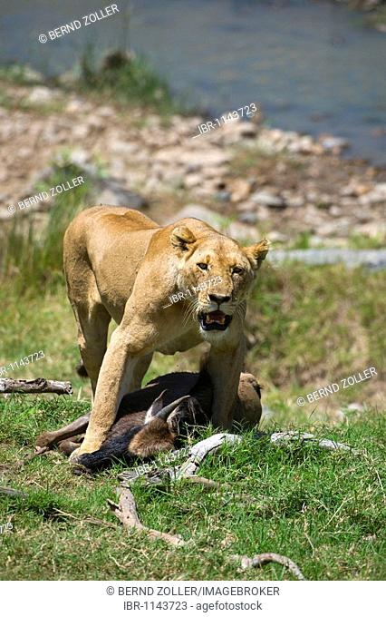 Lioness (Panthera leo) with prey, Blue Wildebeest (Connochaetes taurinus), Masai Mara National Reserve, Kenya, East Africa