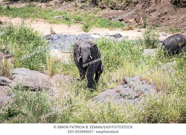 Elephant walking towards the camera in the Kruger National Park, South Africa