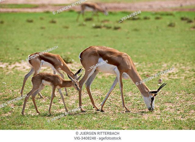 Springbok, Antidorcas marsupialis, Kgalagadi Transfrontier Park, South Africa, Africa - Kgalagadi Transfrontier Park, South Africa, 11/02/2011