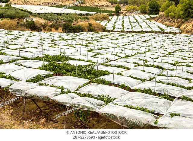 Vineyard in greenhouse, white grapes, Totana, Murcia, Spain