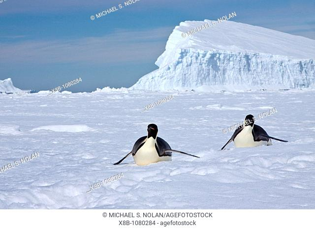Adult emperor penguin Aptenodytes forsteri on sea ice near Snow Hill Island in the Weddell Sea, Antarctica  MORE INFO The emperor is the tallest and heaviest of...
