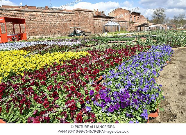 10 April 2019, Brandenburg, Wittstock: Pansies stand at the State Garden Show to be planted on the edge of the city wall. On 18.04