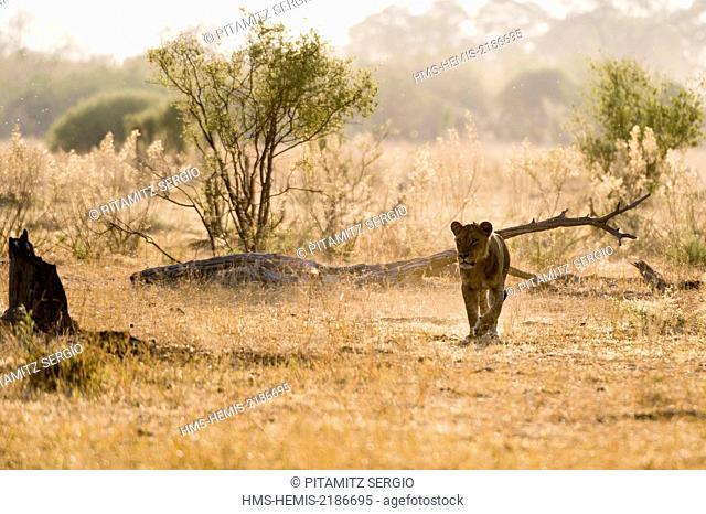 Botswana, Chobe National Park, Savuti Marsh, Lion (Panthera leo)