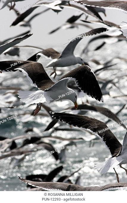 A flock of black-backed gulls following behind a fishing trawler