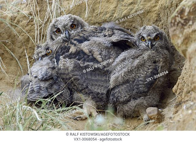 Eurasian Eagle Owls ( Bubo bubo ), offspring, young chicks, three siblings, in a sand pit, wildlife, Europe