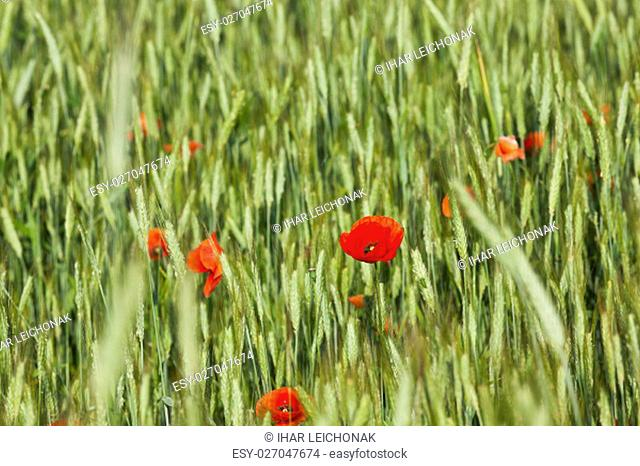 photographed close-up of red poppy flowers growing in the field. summer