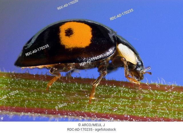 Asian Lady Beetle, Harmonia axyridis, side