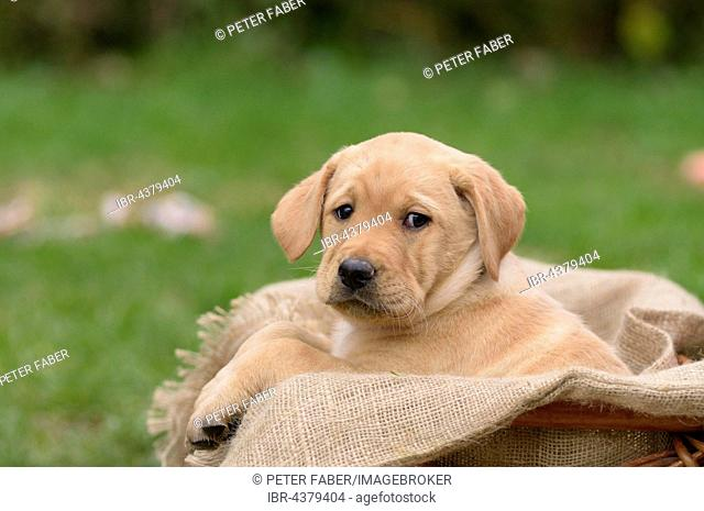 Yellow Labrador puppy sitting in dog basket