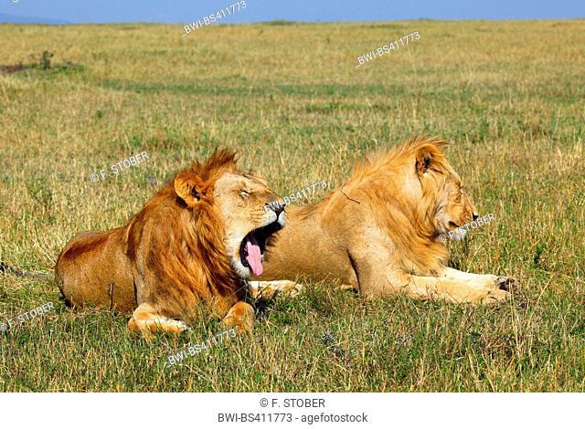 lion (Panthera leo), two lying males in savannah, Kenya, Masai Mara National Park