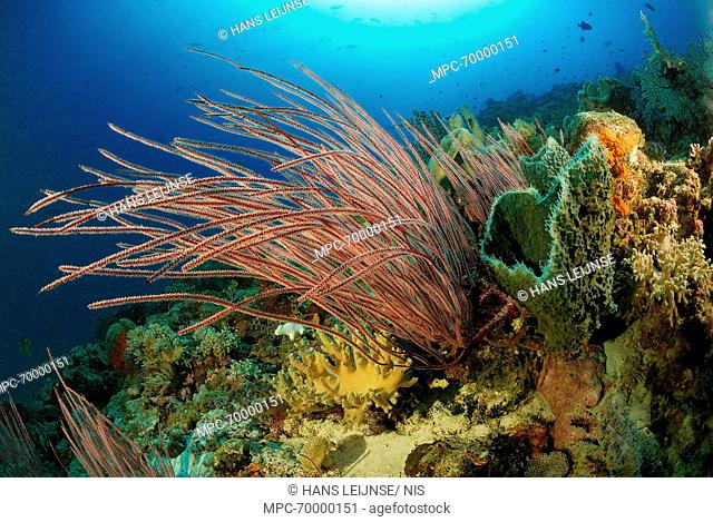 Soft Coral (Ellisella sp) on reef, Indonesia