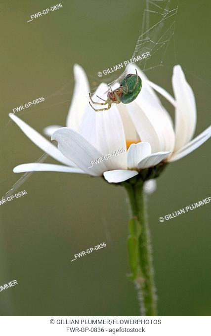 Ox-eye daisy, Leucanthemum vulgare, Side view of a flower opening its white petals. A small green and red garden spider is weaving a web across the flower