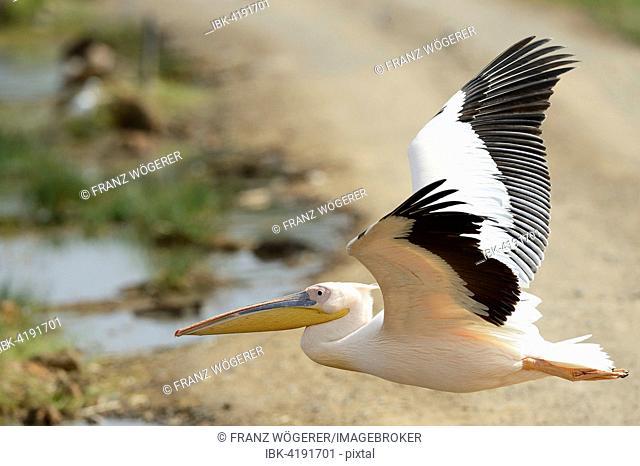 Great White Pelican (Pelecanus onocrotalus) in flight, Lake Nakuru National Park, Kenya