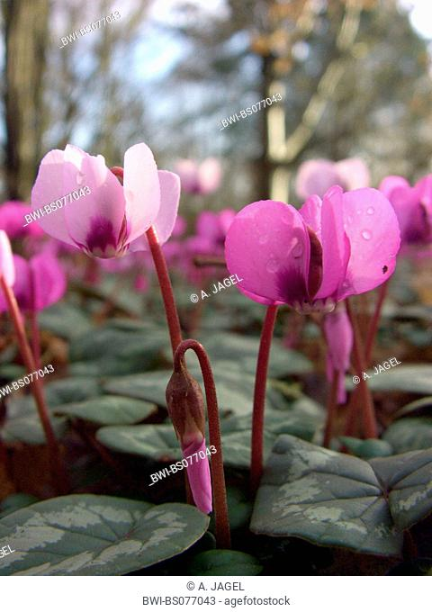 eastern cyclamen (Cyclamen coum), flowers and buds