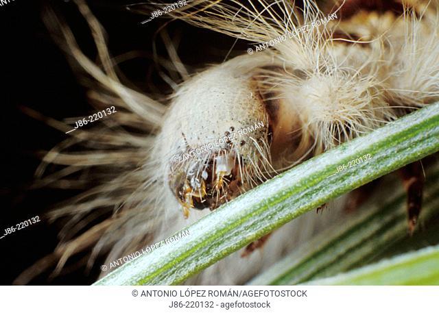 Caterpillar head (Streblote panda), fam. Lasiocampidae