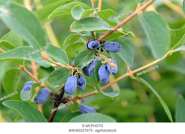 Blue-berried honeysuckle, Bluefly honeysuckle, Sweetberry honeysuckle (Lonicera caerulea var. kamtschatica), branch with fruits